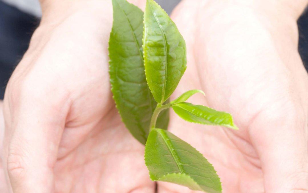Sukces diety, a katechina w zielonej herbacie matcha